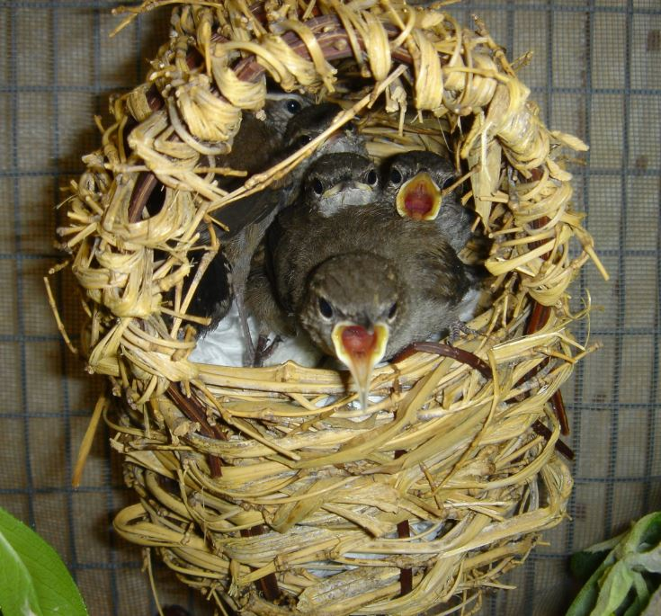 Baby wrens in nest. Photo by Veronica Bowers