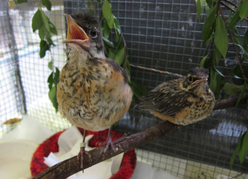 Fledgling robins. Photo by Alison Hermance