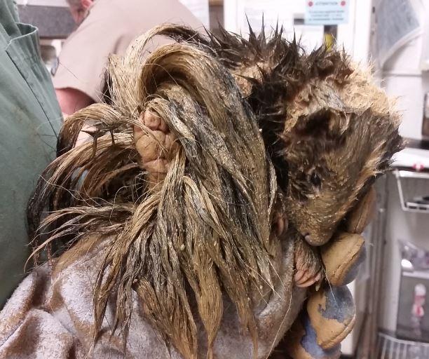 Muddy skunk. Photo by Melanie Piazza