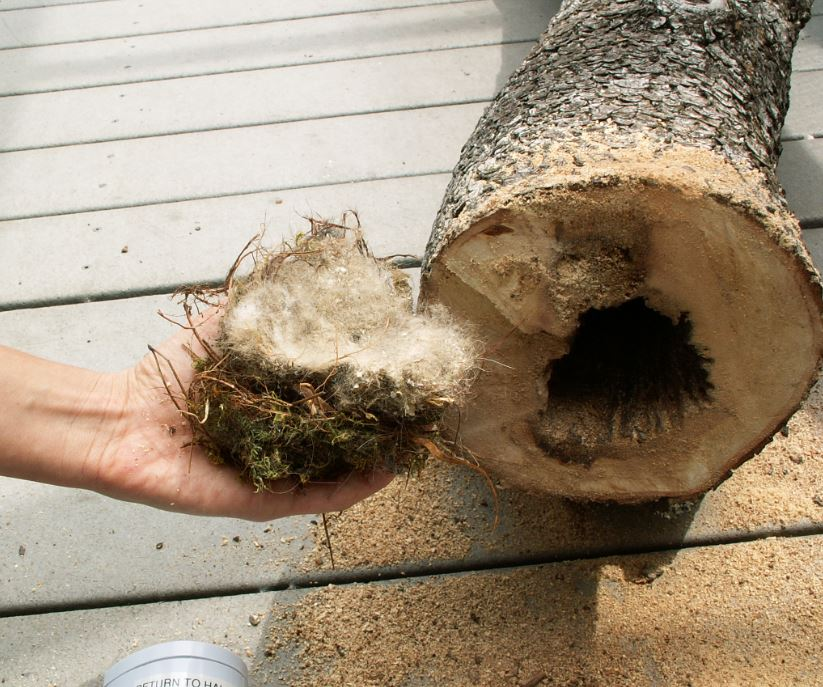 Nest from inside cut log. Photo by Alison Hermance