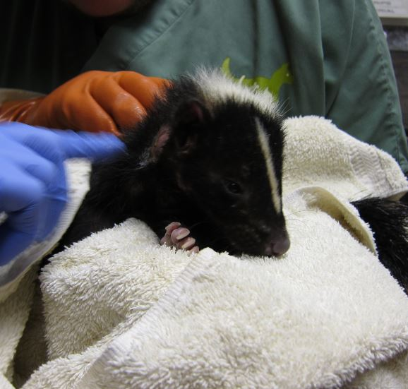 Skunk being examined after a bath. Photo by Alison Hermance