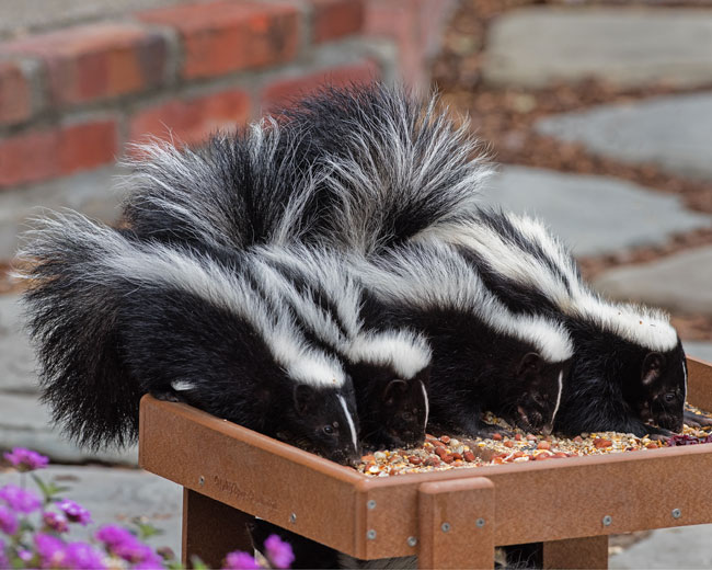 Baby skunks in the back yard. Photo by Greg Wilson