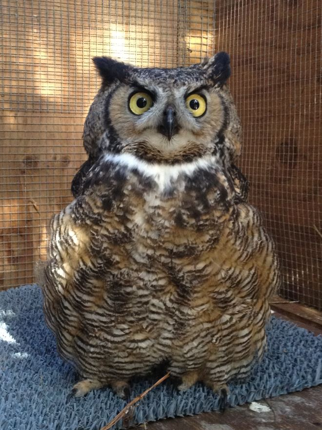 Great Horned Owl at WildCare. Photo by Melanie Piazza