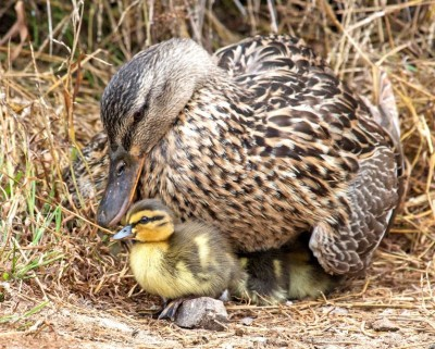 Mother duck and ducklings. Photo by Marianne Hale