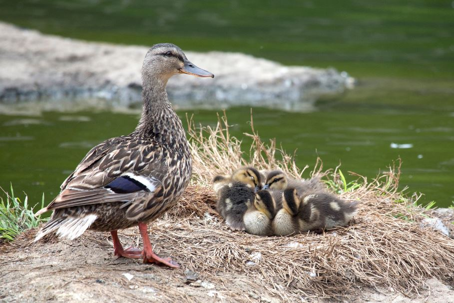 Mother Mallard with ducklings. Photo by Marianne Hale