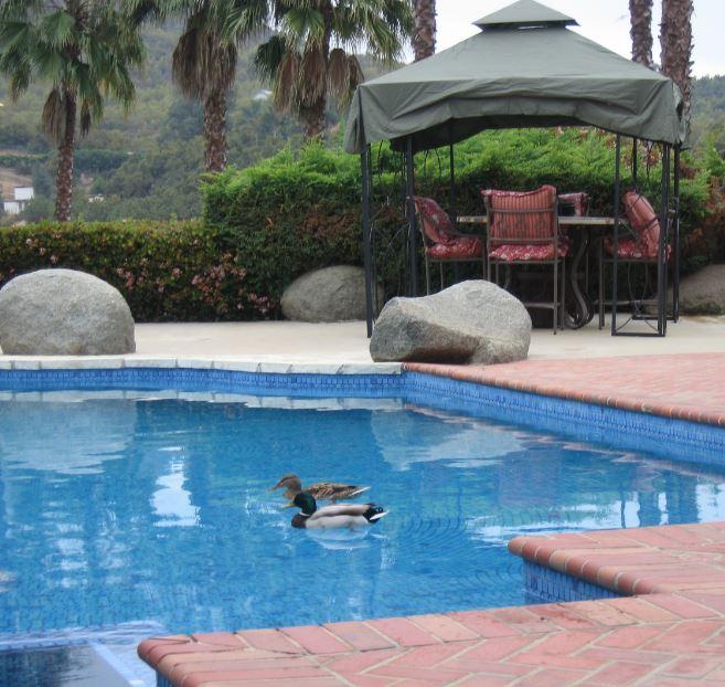 Ducks in a swimming pool. Photo by JoLynn Taylor