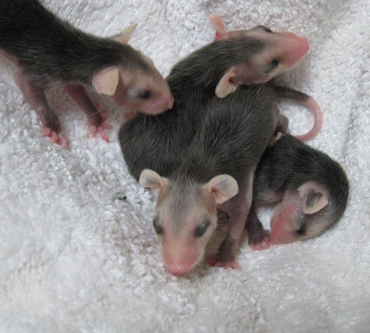 Opossum babies at WildCare. Photo by Alison Hermance