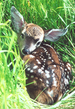Healthy fawn in the grass. Photo by Susan Sasso