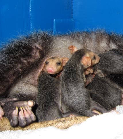 Opossum babies in their mother's pouch. Photo by Alison Hermance