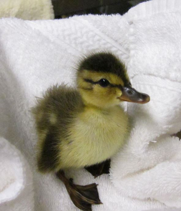 First duckling of 2016. Photo by Alison Hermance