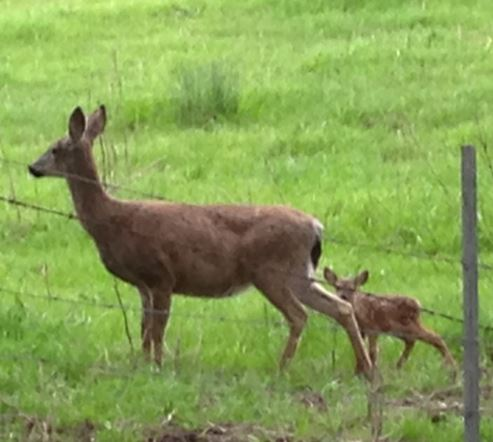 Doe and fawn. Photo by Alison Hermance