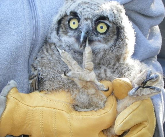 Great Horned Owlet held properly. Photo by Gary Koffler