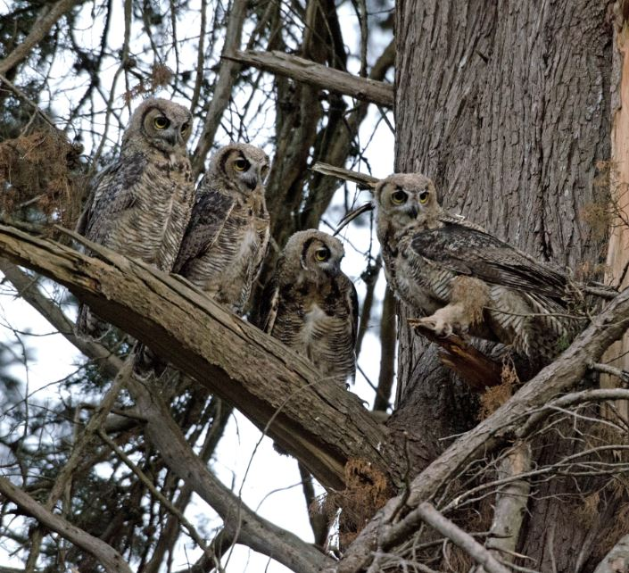 """Great Horned Owl """"branchers."""" Photo by Sharon Osberg"""