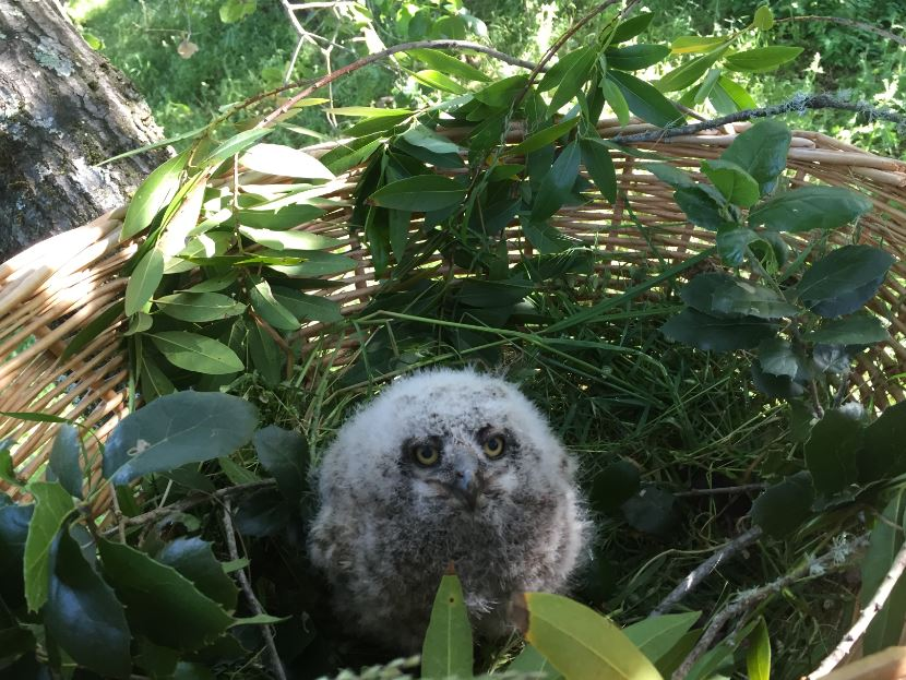 Owlet in a basket. Photo by Craig Solin