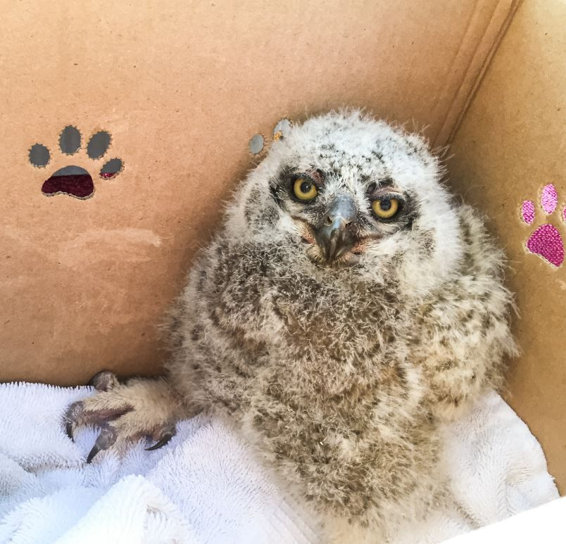 Great Horned Owlet ready to return to the nest. Photo by Craig Solin