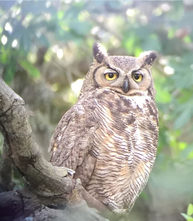 The mother Great Horned Owl. Photo by Craig Solin