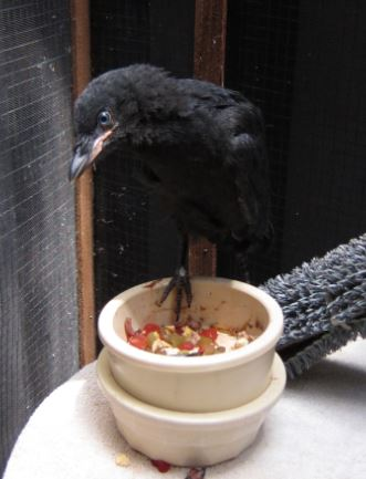 Baby crow on dish. Photo by Alison Hermance