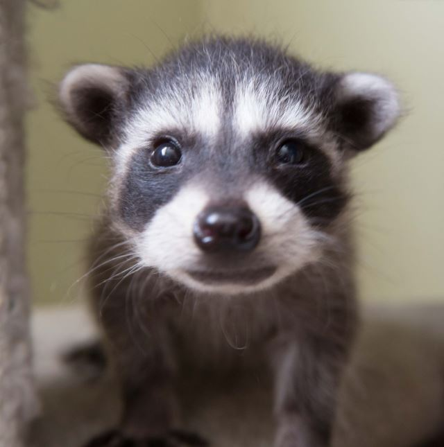 Orphaned baby raccoon at WildCare. Photo by Shelly Ross