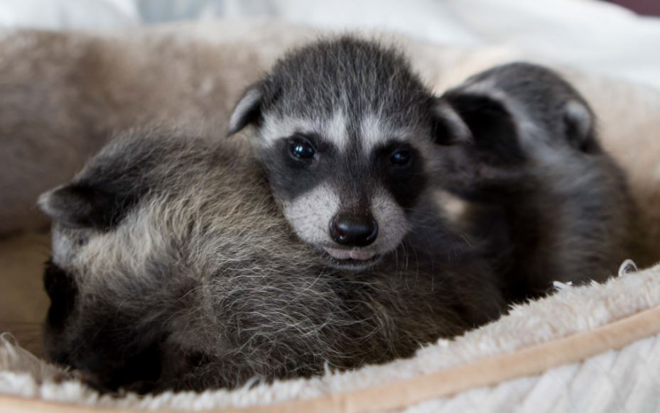 Foster care raccoons. Photo by Shelly Ross