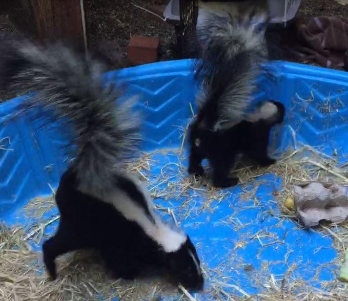 Skunks in the kiddie pool. Photo by Alison Hermance