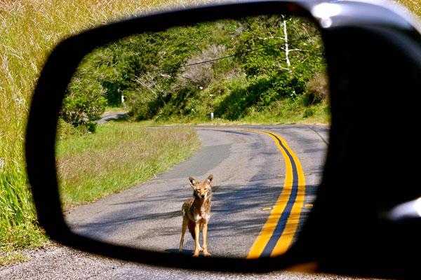 Coyote in Rear-view Mirror. Photo by Tony Koloski