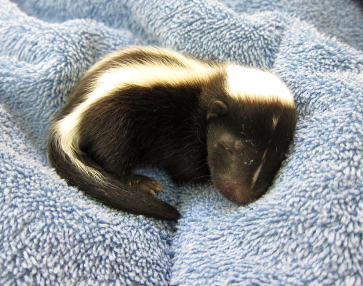 Baby skunk at WildCare. Photo by Alison Hermance