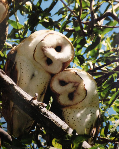 Two Barn Owls. Photo by Gary Walter