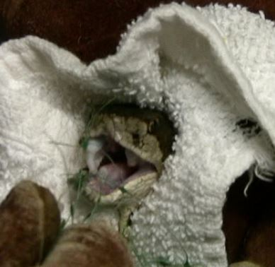 Removing netting from the snake's fangs. Photo by Alison Hermance