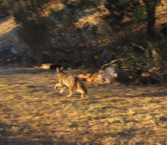 Coyote being released. Photo by Alison Hermance