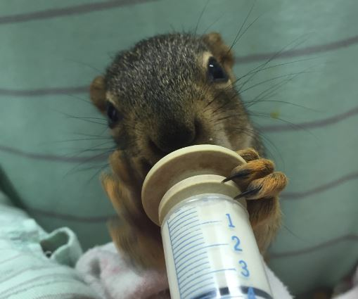 Fox Squirrel in care at WildCare. Photo by Alison Hermance