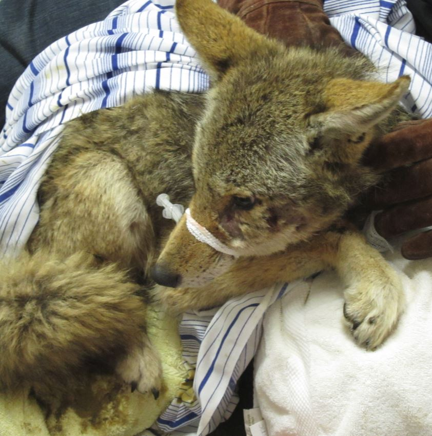 Injured coyote at WildCare. Photo by Alison Hermance