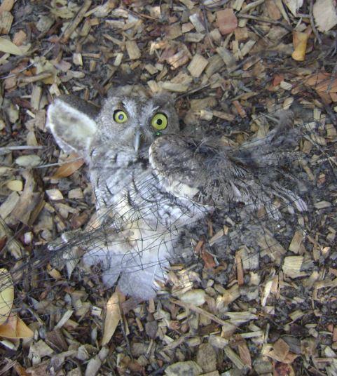 Tangled Screech Owl. Photo by Martyn Holgate