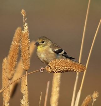 Goldfinch by Laura Milholland