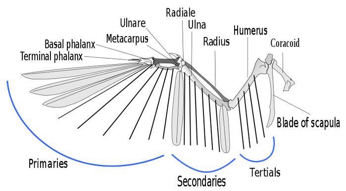 Anatomy of a bird's wing