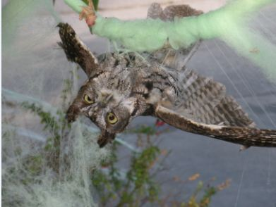 Western Screech Owl tanlged in fake spiderweb. Photo by Dave Stapp