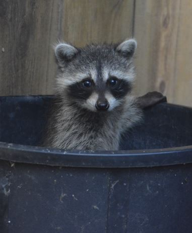 Raccoon baby in Foster Care at WildCare. Photo by Anne Barker