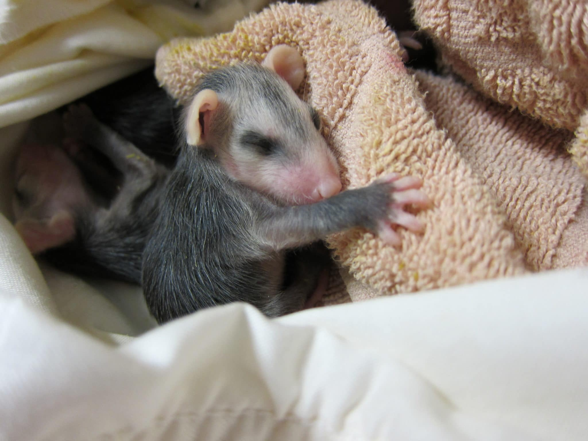 Opossum baby at WildCare. Photo by Alison Hermance