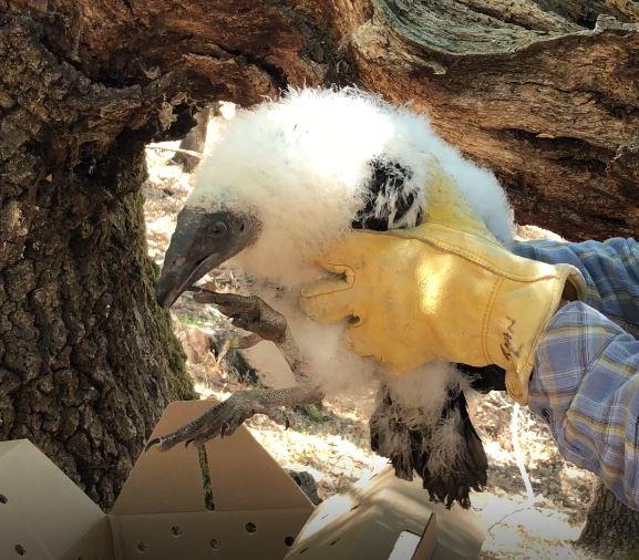 HermanceAlison Turkey Vulture Baby
