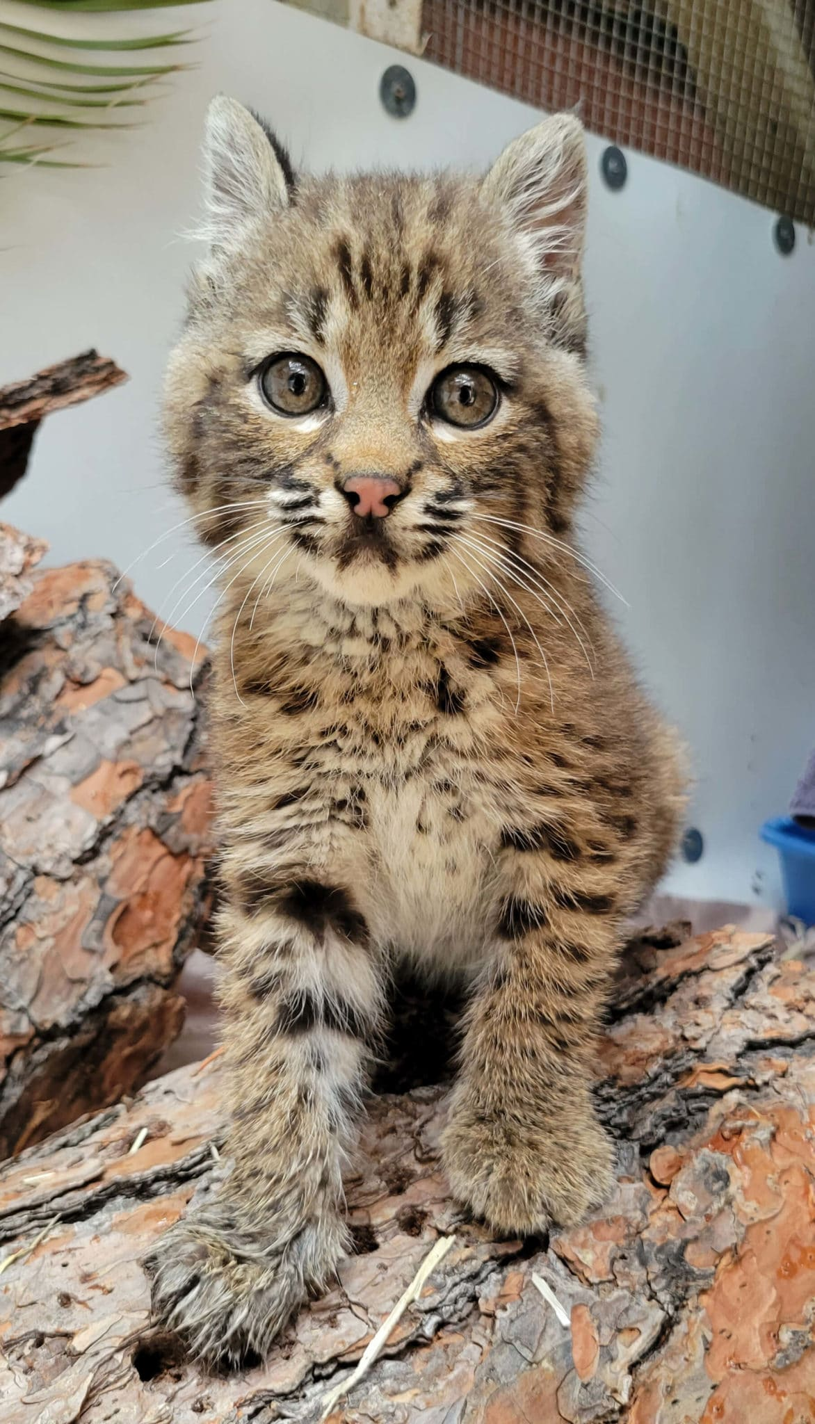 PiazzaMelanie Bobcat Kitten Smaller2