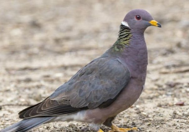 Band Tailed Pigeon Gravel