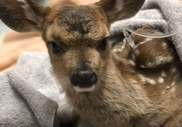 HermanceAlison First Fawn Of 2021