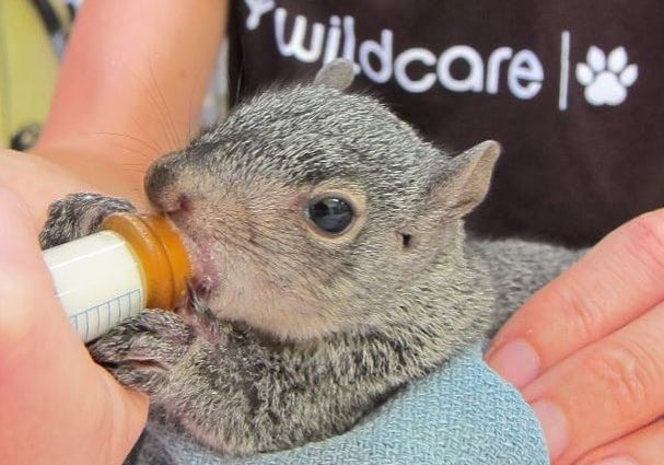 HermanceAlison Orphaned Squirrel With Logo