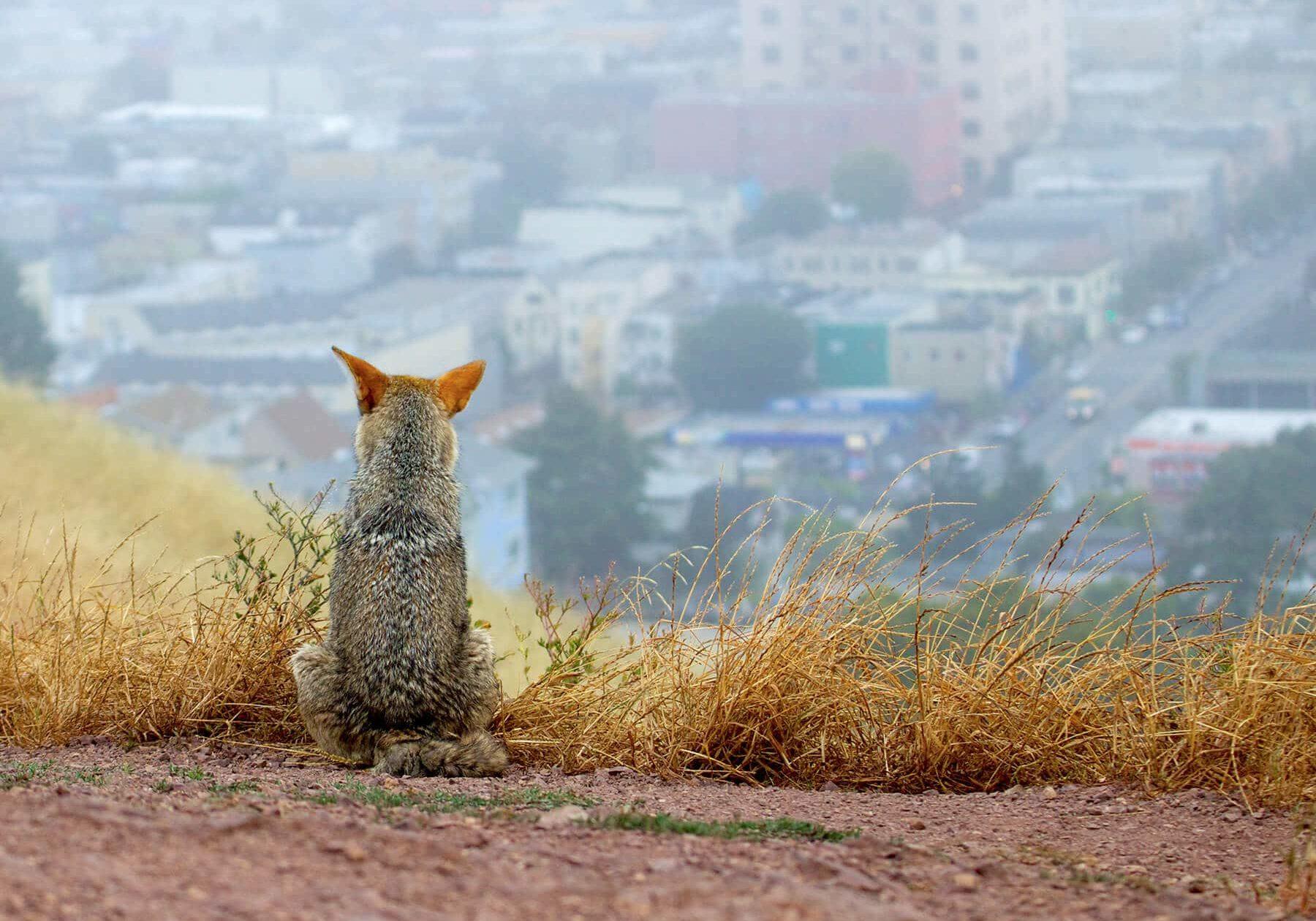 KesslerJanet Coyote Contemplates City