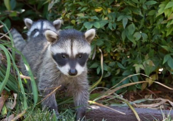 RossShelly Raccoons Grass